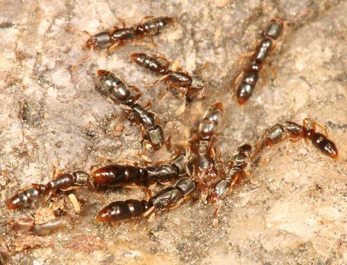شركة مكافحة النمل في العين |0556216906|خدمات ابادة فورية