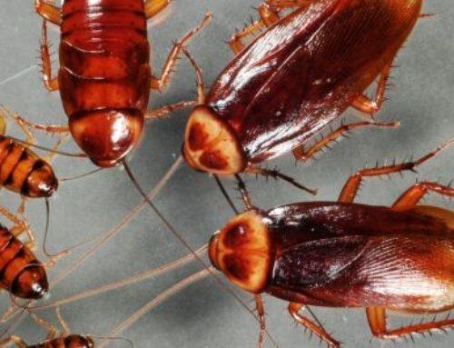 شركة مكافحة الصراصير في عجمان |0556216906| لمكافحة الحشرات