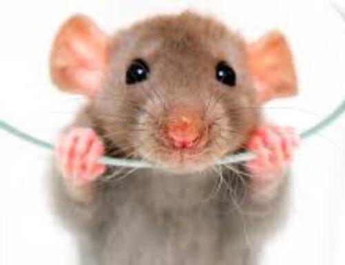 شركة مكافحة الفئران في عجمان |0556216906| مكافحة حشرات