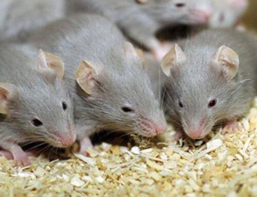 شركة مكافحة الفئران في العين |0556216906|رش المبيدات