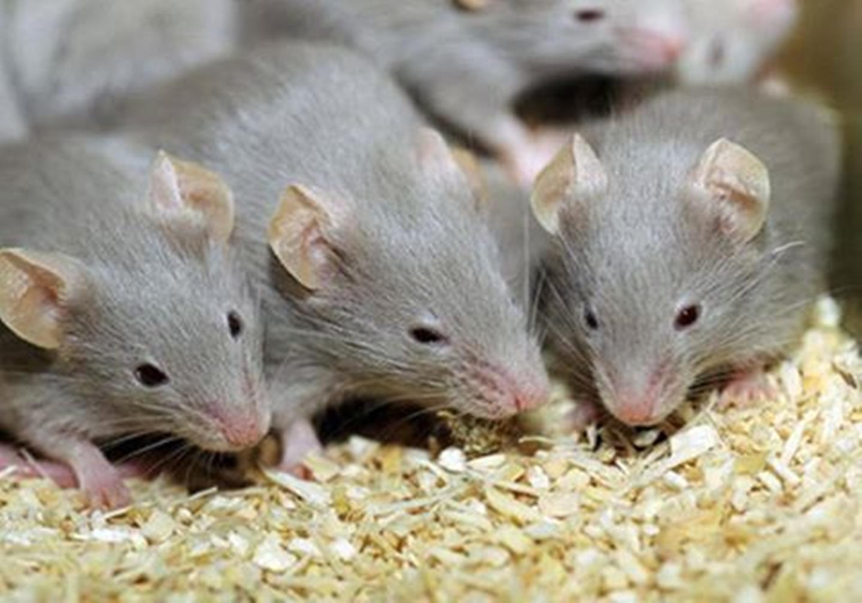 شركة مكافحة الفئران في العين
