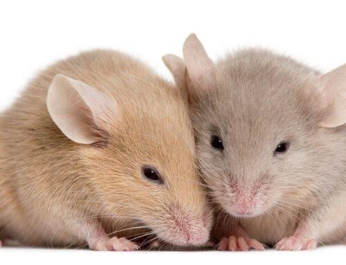 شركة مكافحة الفئران في دبي |0556216906| ابادة حشرات