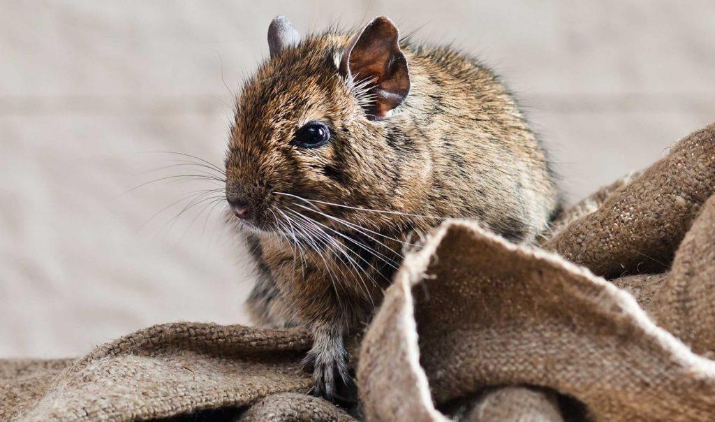 شركة مكافحة الفئران في راس الخيمة